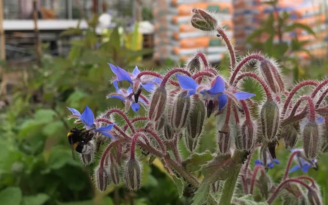 Insektenoase Kräutergarten, diesmal: Borretsch