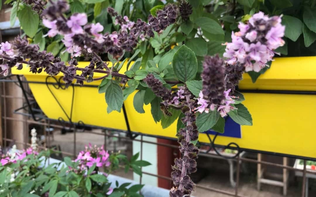 Insektenoase Kräutergarten, diesmal: Basilikum