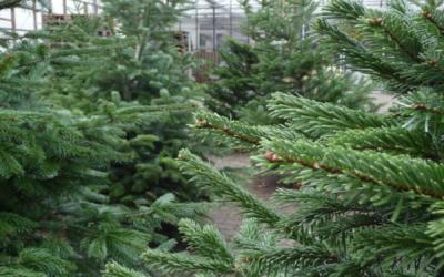 Weihnachtsbaumverkauf ab 01.12.2020